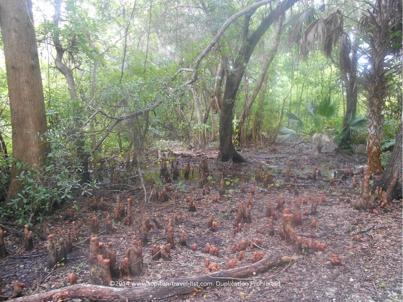 View of a swamp at Boyd Hill Nature Preserve in St. Petersburg, Florida