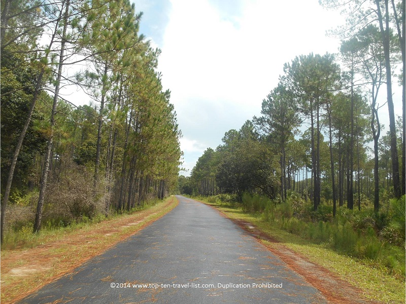 Tall pines lining the Florida Flatwoods Loop - Flatwoods Park in Tampa
