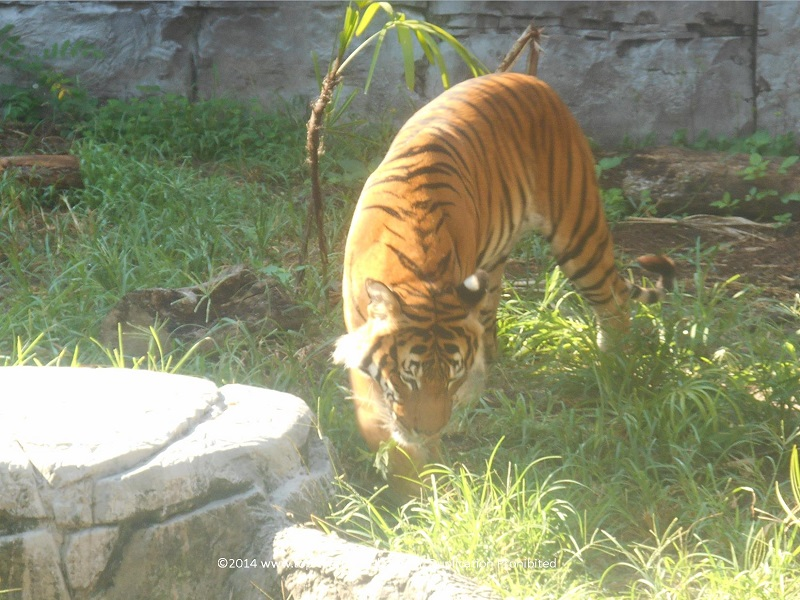 Tiger at Tampa's Lowry Park Zoo