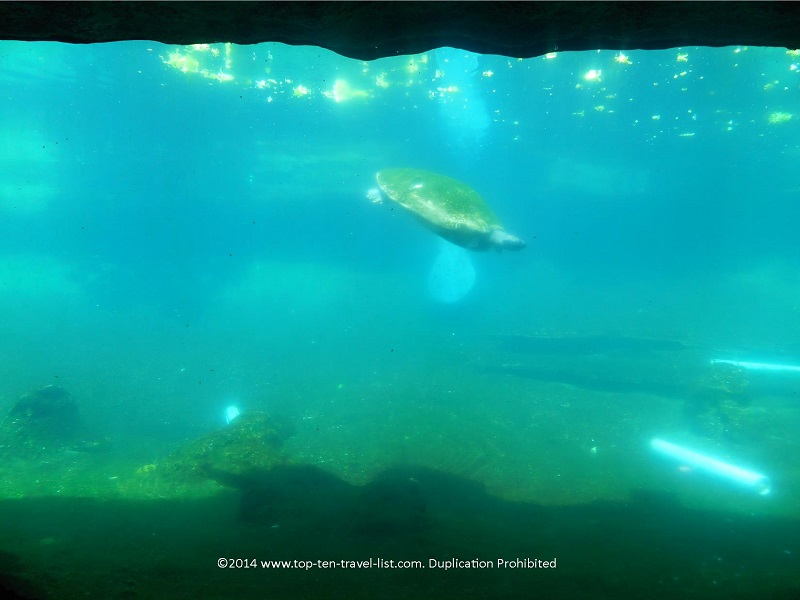 Turtle swimming at Tampa's Lowry Park Zoo