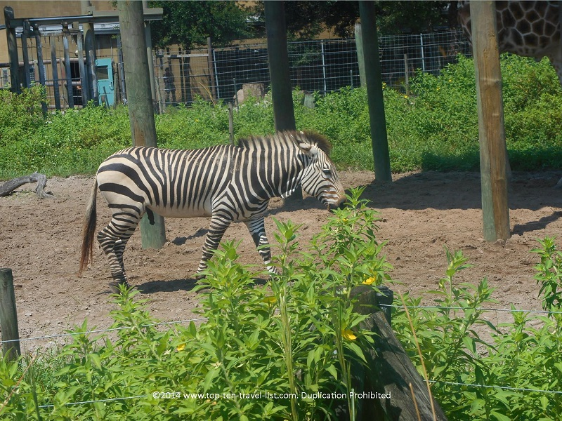 Zebra at Tampa's Lowry Park Zoo