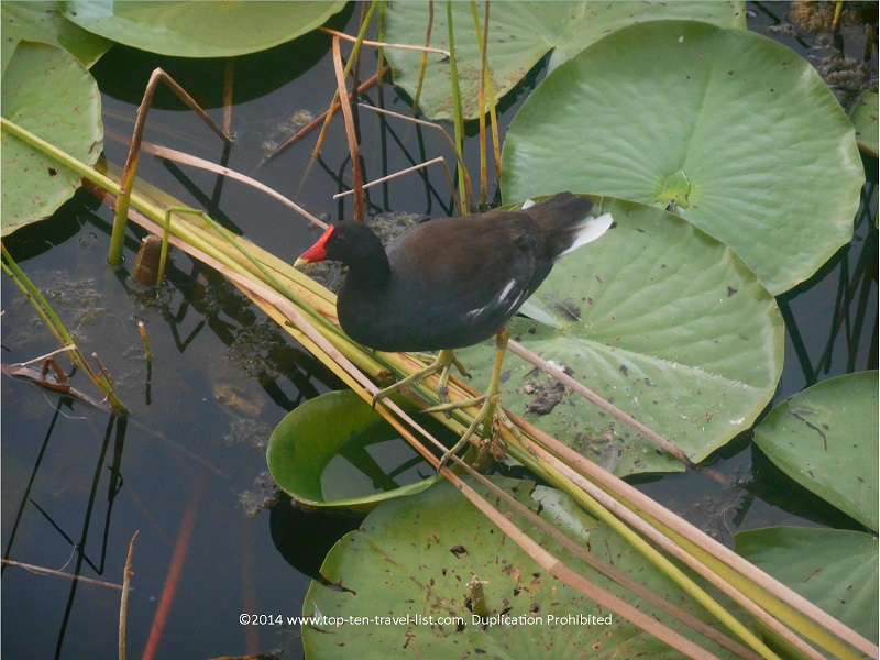 American Coot at Eagle Lake Park in Largo, Florida