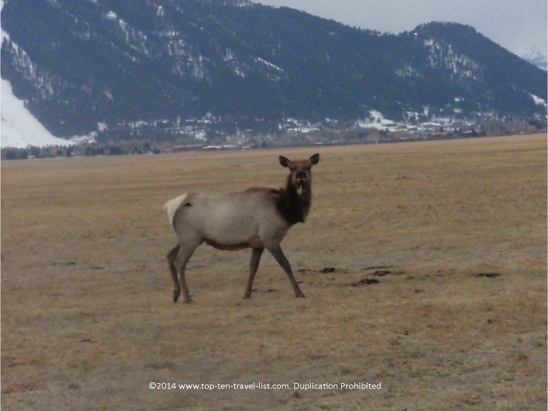 Up close view of an elk at the National Elk Refuge in Jackson Hole, Wyoming