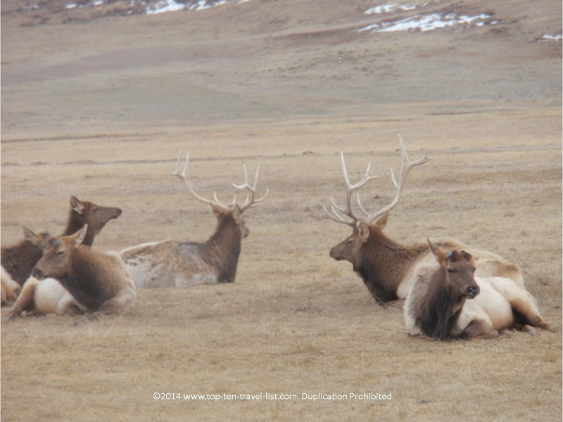 Elk relaxing at the National Elk Refuge Center in Jackson Hole, Wyoming