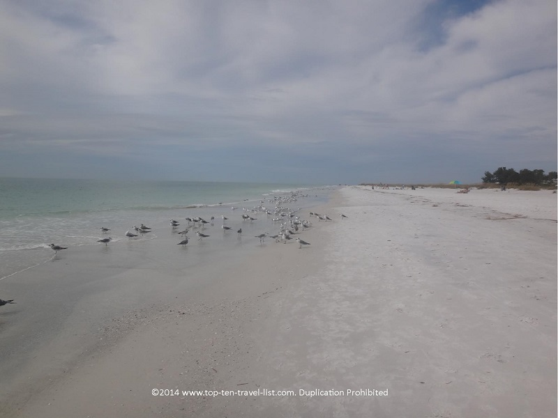 Lots of birds at Anna Maria Island beach in Florida