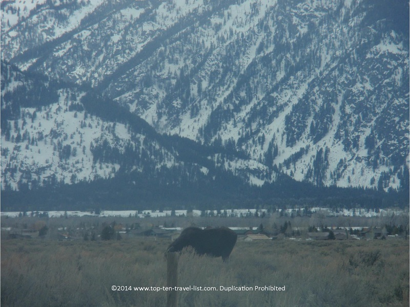 Moose on Gros Ventre Rd in Jackson Hole, Wyoming