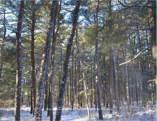 Snowy pine trees at beautiful Myles Standish State Forest in Carver, Massachusetts
