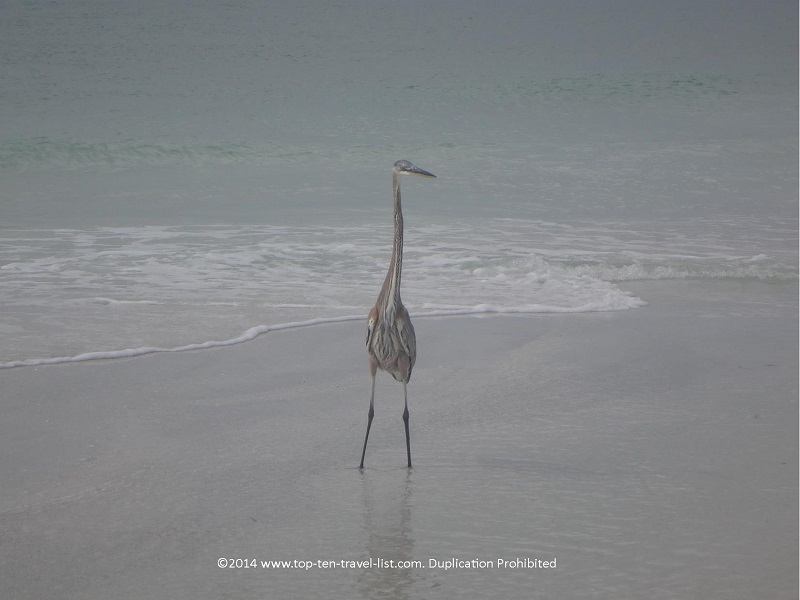 Tall beach bird on Anna Maria Island beach in Florida