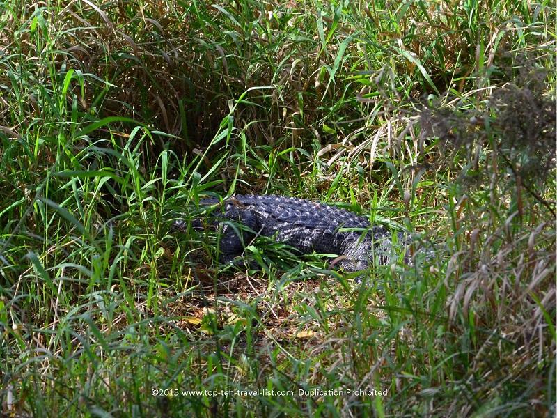 Alligator sighting at Circle B Bar Reserve in Lakeland, Florida