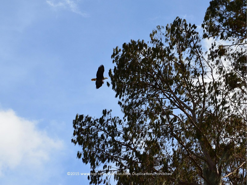 Bald eagle at Circle B Bar Reserve in Lakeland, Florida