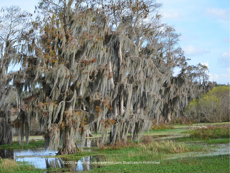 Beautiful Spanish moss tree at Circle B Bar Reserve in Lakeland, Florida