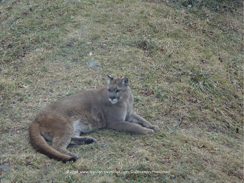 A beautiful bobcat in the Animal Habitat area of the park.