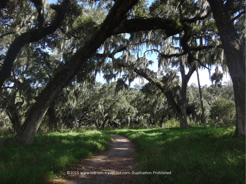 A beautiful canopy of Spanish moss trees at Circle B Bar Reserve in Lakeland, Florida