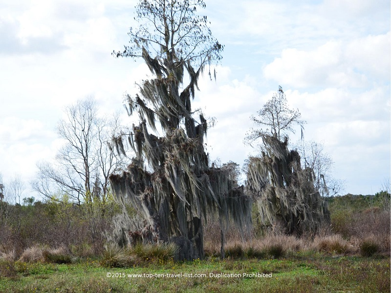 Cool looking moss tree at Circle B Bar Reserve in Lakeland, Florida