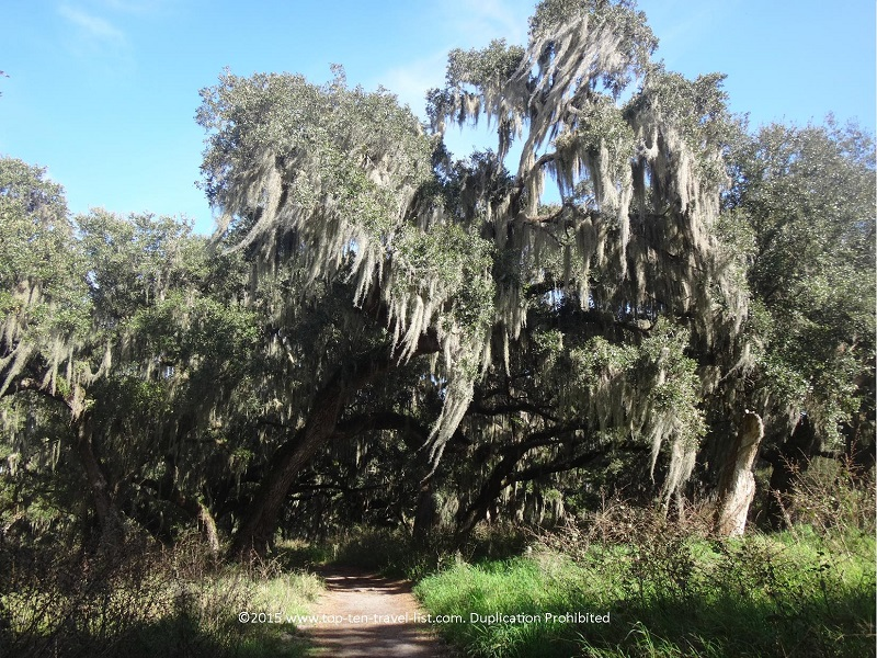 Beautiful Spanish moss trees on the Shady Oak Trail at Circle B Bar Reserve in Lakeland, Florida