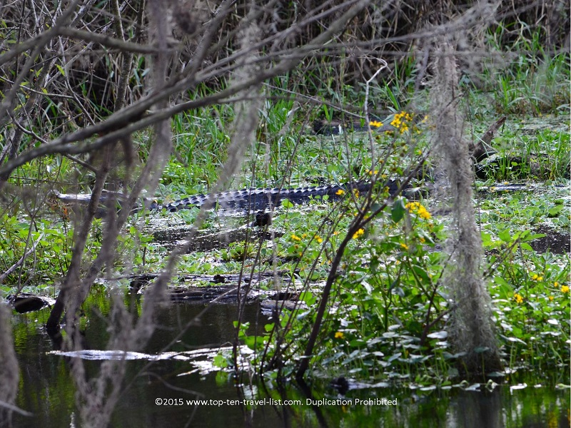 Alligator spotted between the trees at Circle B Bar Reserve in Lakeland, Florida