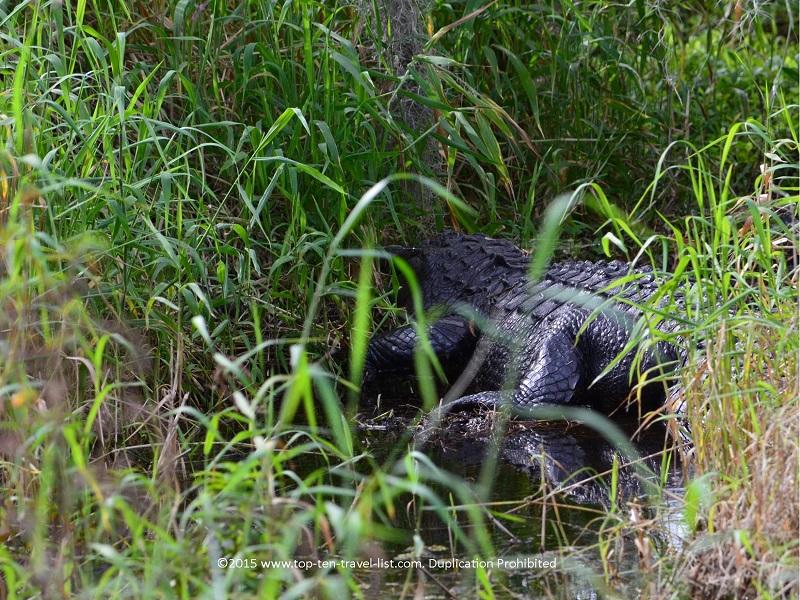 Gator in the swamp at Circle B Bar Reserve in Lakeland, Florida