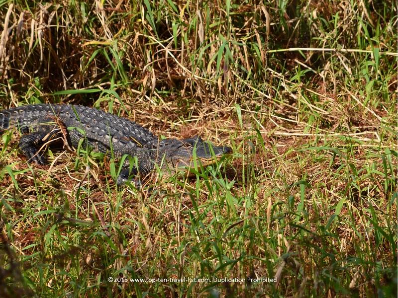 Great view of an alligator at Circle B Bar Reserve in Lakeland, Florida