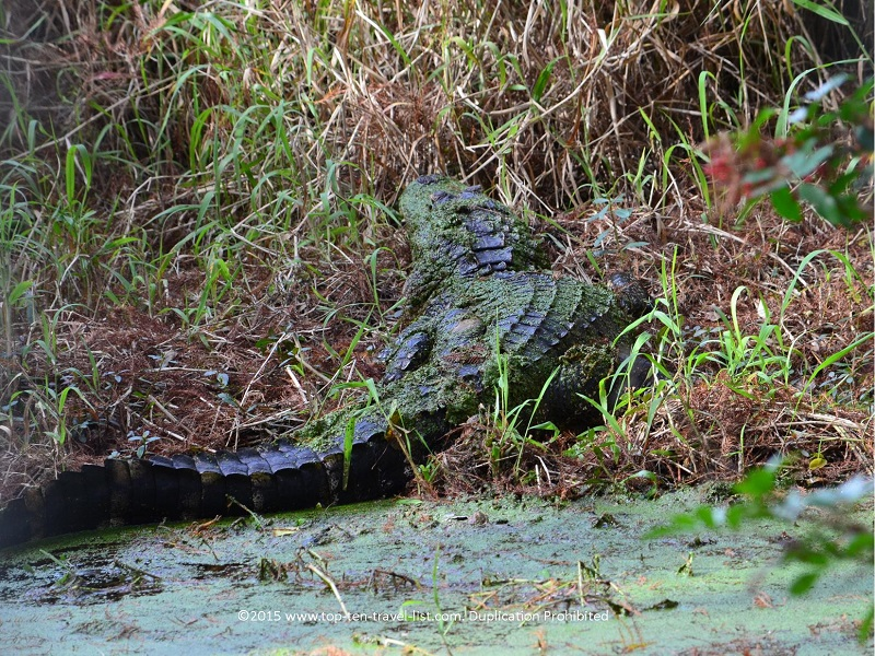 Great back view of a gator at Circle B Bar Reserve in Lakeland, Florida