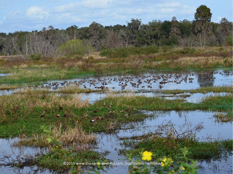Beautiful marsh views and lots of birds at Circle B Bar Reserve in Lakeland, Florida