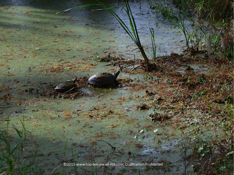 Gopher tortoise at Circle B Bar Reserve in Lakeland, Florida
