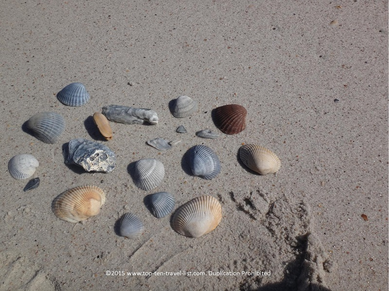There are so many unique seashells to collect of all different sizes and shapes... a true beach comber's paradise! If you are lucky, you may even find a shark tooth!