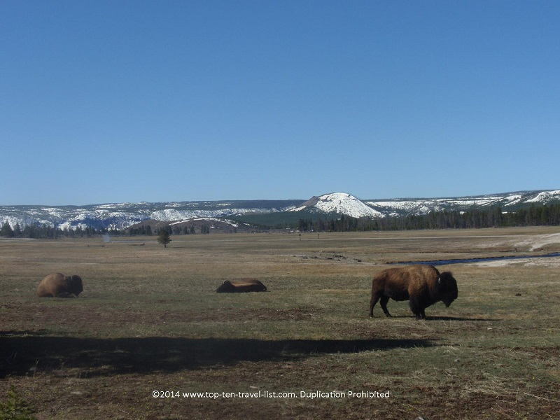 There are plenty of opportunities to see Bison while driving through Yellowstone.