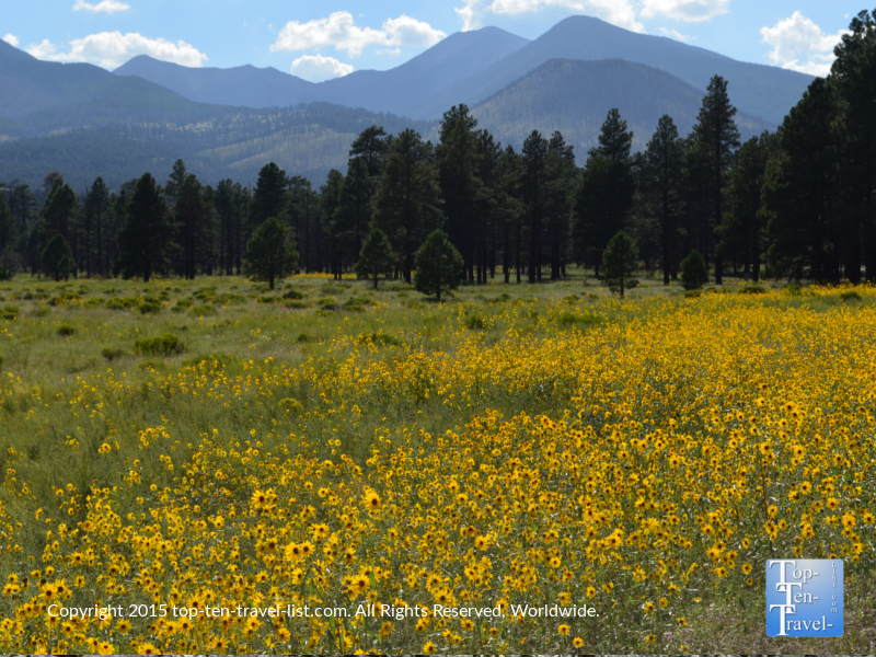 Gorgeous wildflowers in Flagstaff, Arizona