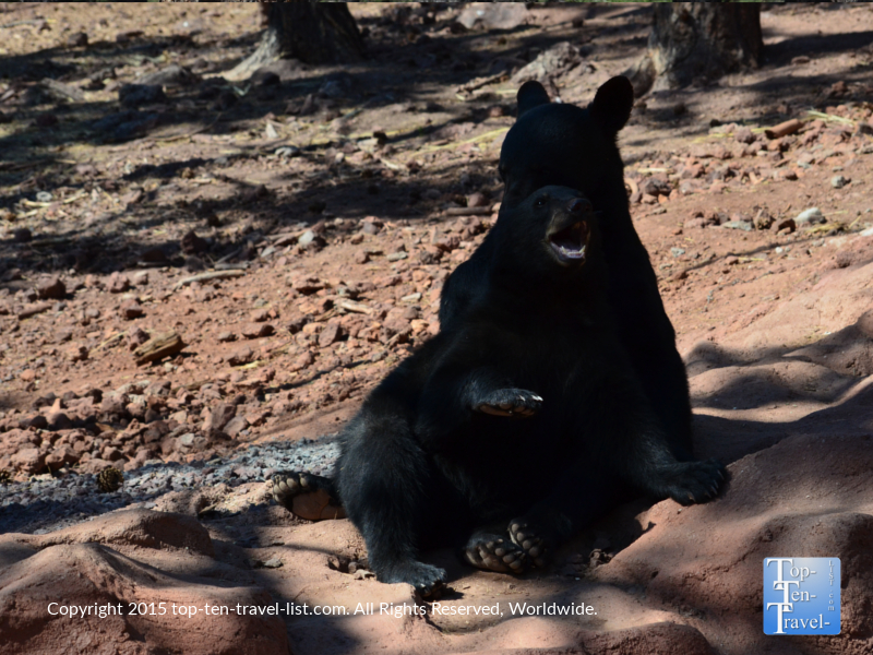 2 junior black bears at Bearizona in Williams, Arizona