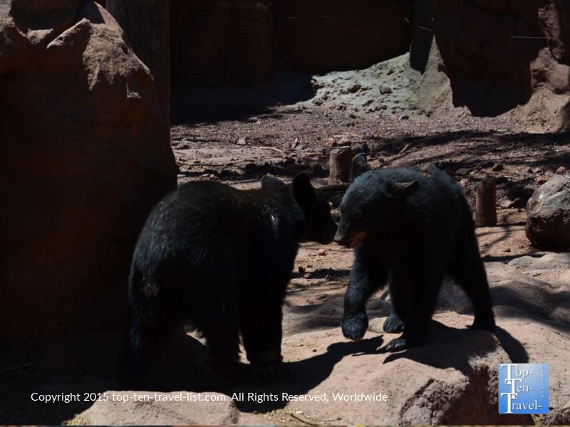 Jr black bears at Bearizona in Williams, Arizona