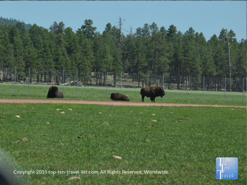 A group of American Bison at Bearizona Wildlife Park in Williams, Arizona