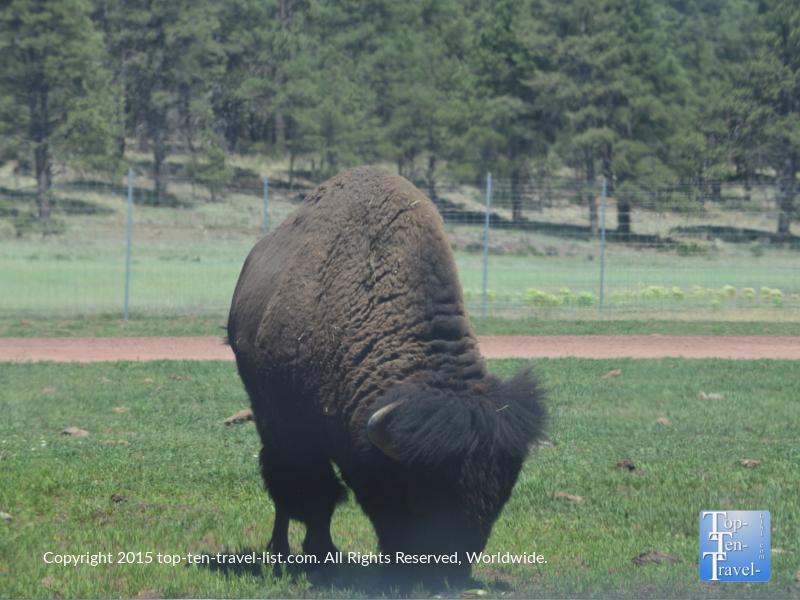 American Bison at Bearizona Drive-Thru Wildlife Park in Williams, Arizona