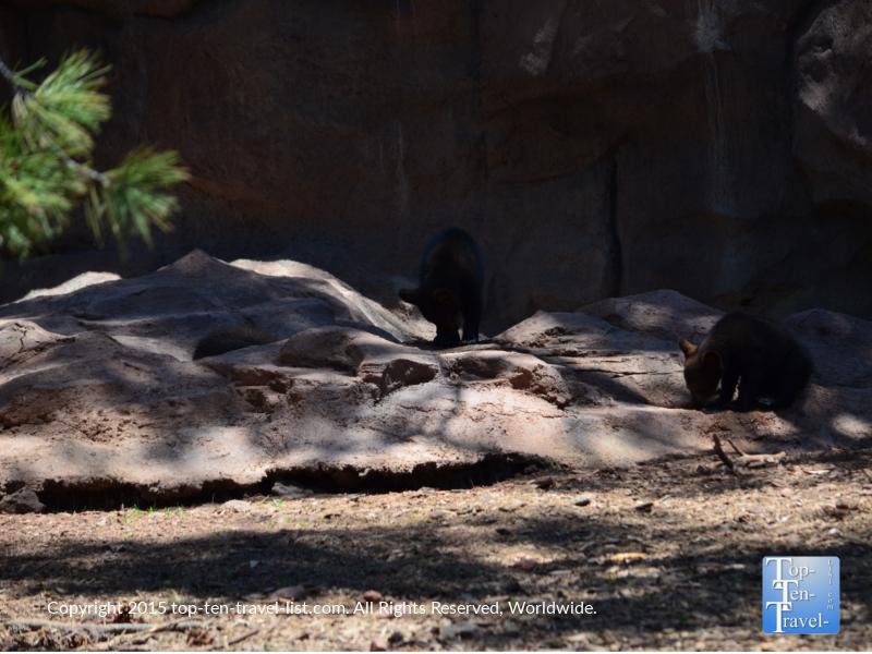 Baby black bears at Bearizona in Williams, Arizona