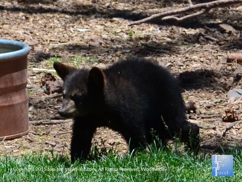 Up close of a baby black bear at Bearizona in Williams, Arizona