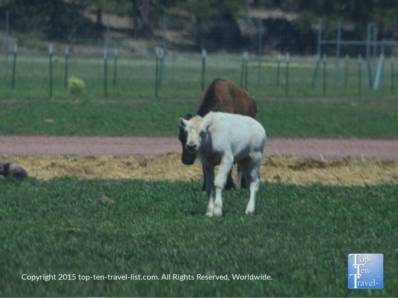 Baby White Buffalo at Bearizona Drive-Thru Wildlife Park in Williams, Arizona