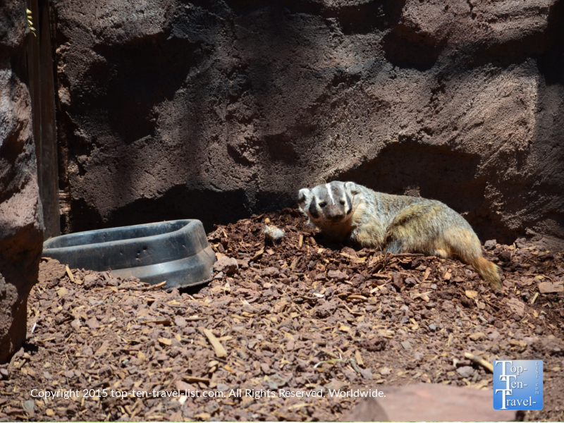 Badger at Bearizona in Williams, Arizona