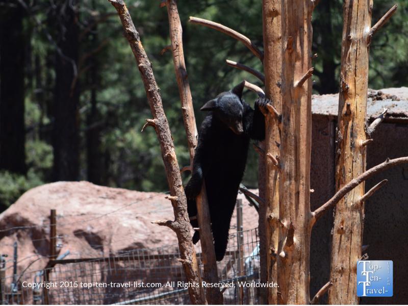 Baby black bear climbing a tree at Bearizona in Williams, Arizona