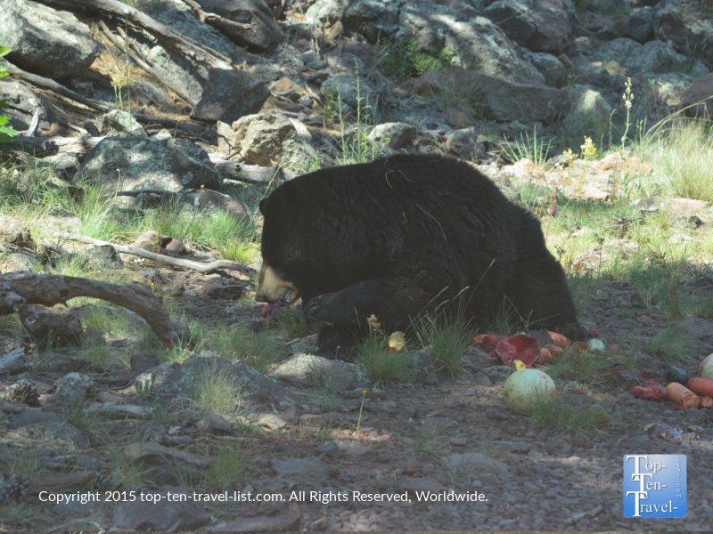 Black Bear eating fruit at Bearizona Drive-Thru Wildlife Park in Williams, Arizona