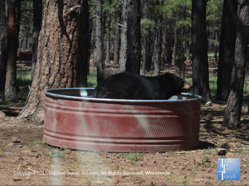 Black bear swimming at Bearizona Drive-Thru Wildlife Park in Williams, Arizona