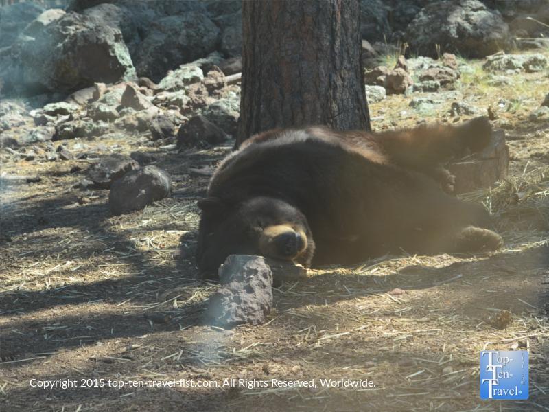 A huge Black Bear sleeping at Bearizona Drive-Thru Wildlife Park in Williams, Arizona