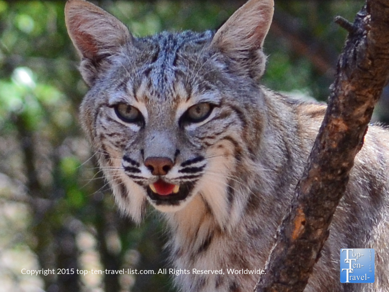 A bobcat at Bearizona in Williams, Arizona