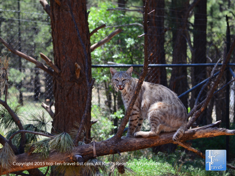 Bobcat at Bearizona in Williams, Arizona