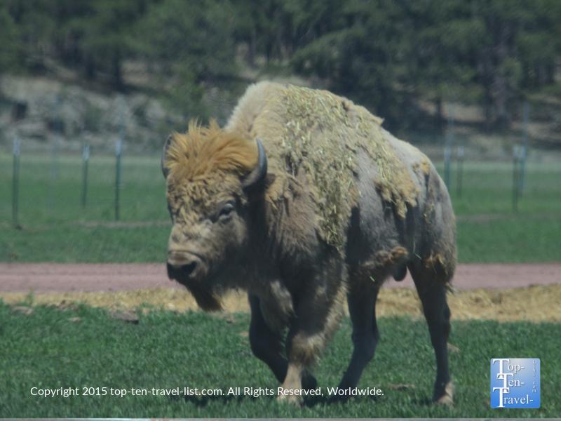 Close up of a White Buffalo at Bearizona Drive-Thru Wildlife Park in Williams, Arizona