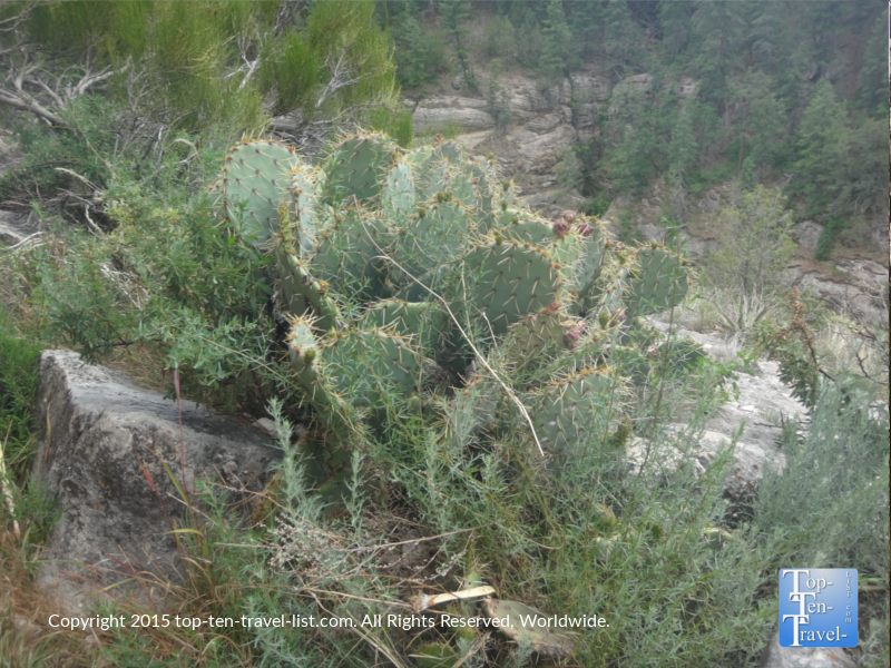 A prickly pear cactus - the fruits were eaten and the juices used for pottery.