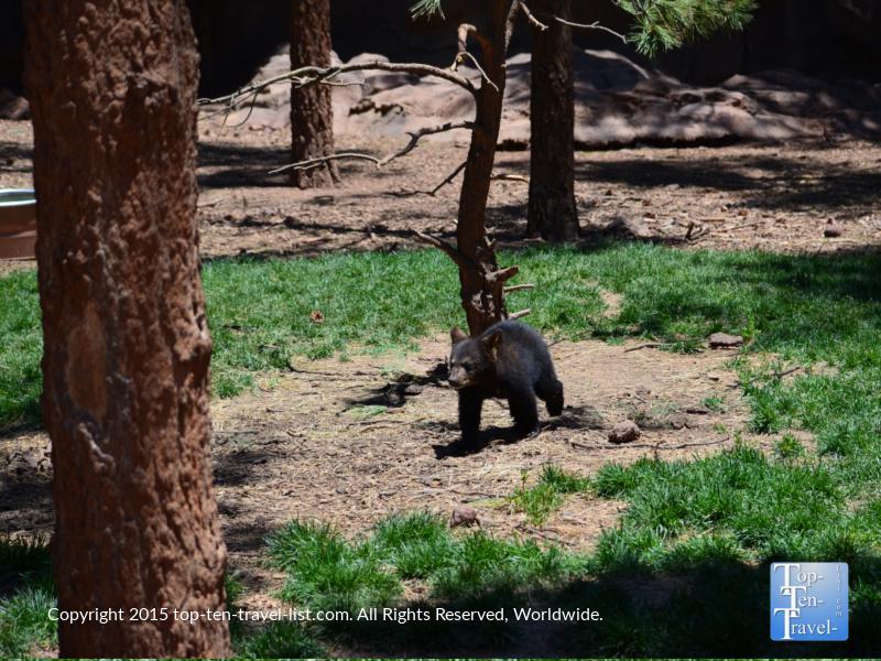 Baby black bear walking towards a tree at Bearizona in Williams, Arizona