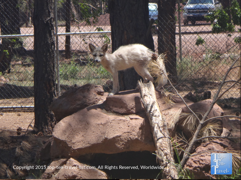 Fox at Bearizona in Williams, Arizona