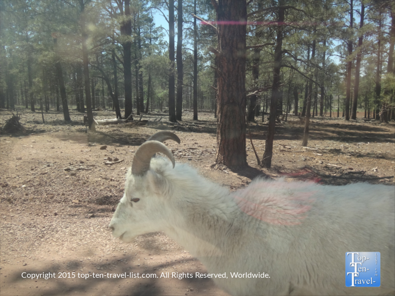 Dall sheep passing the car at Bearizona wildlife park in Williams, Arizona