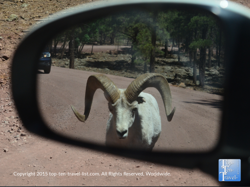 Mountain goat walking towards the car at Bearizona drive-thru wildlife park in Williams, Arizona