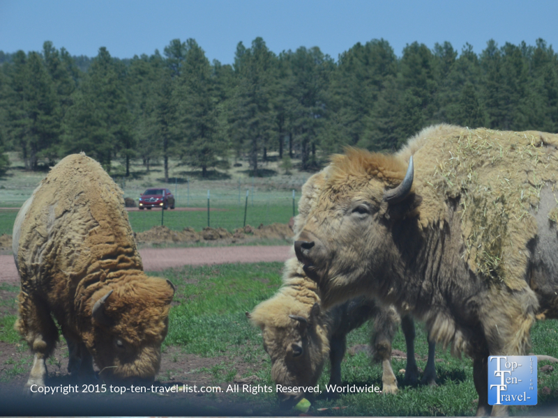 Group of White Buffalo at Bearizona Drive-Thru Wildlife Park in Williams, Arizona