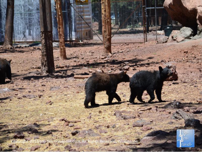 Junior black bears at Bearizona in Williams, Arizona